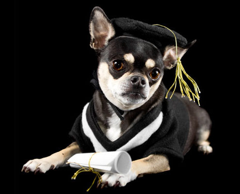 Dog wearing academic regalia in Australia with black background