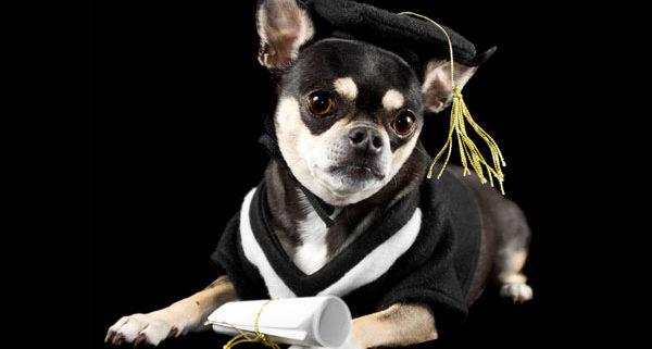 Dog wearing academic regalia in Australia with black background